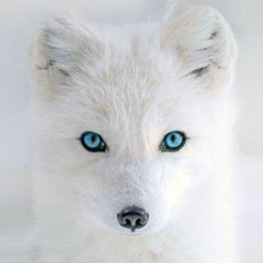 Snowfox7