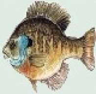 bluegill_catcher
