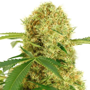 CannabisSEO