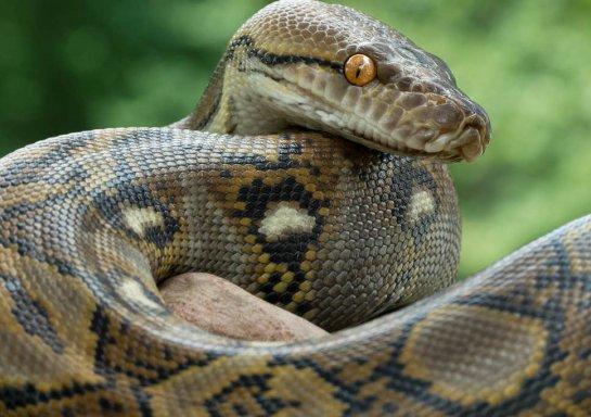 monorattlesnake